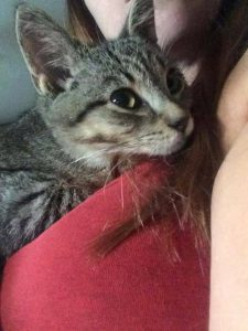 Alfie is an 8 month old spayed male who is a real cuddle bug. He is good with kids and other cats and is learning to trust dogs. Litter trained. He'll steal your heart if you let him.