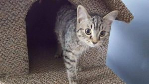 Meet Max, he is extremely affectionate. He loves kids, dogs and other cats. Very well litter trained and has even started to mouse.