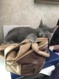 Silverado is a 10 week old male who is adjusting to life with kids, dogs and other cats. He is friendly, and is very playful with his foster brother. He is ready to ***Foster to adopt***